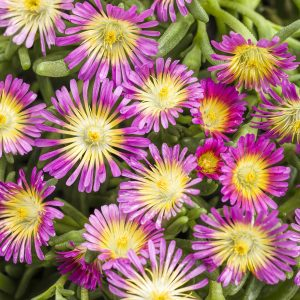 DELOSPERMA BUTTON UP HOT PINK ICE PLANT