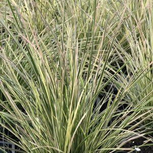 DESCHAMPSIA NORTHERN LIGHTS TUFTED HAIR GRASS