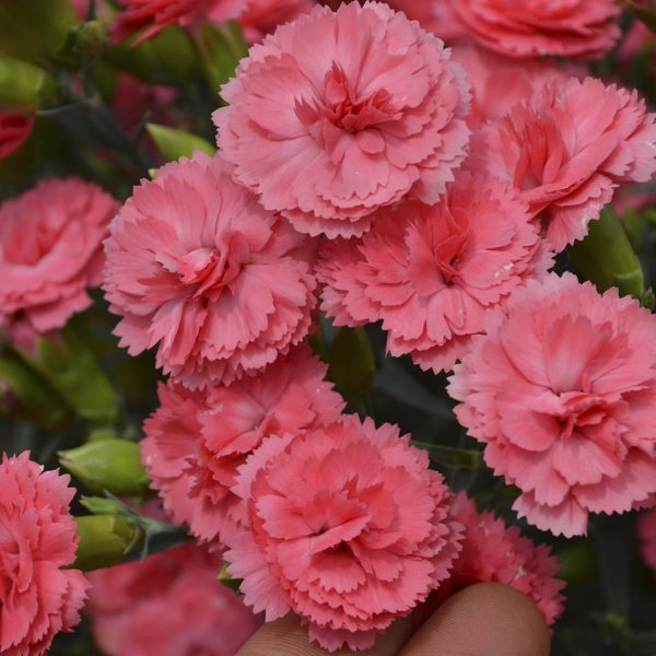 DIANTHUS FRUIT PUNCH CLASSIC CORAL PINKS
