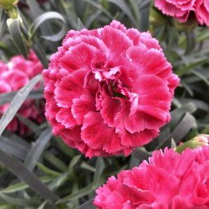 DIANTHUS FRUIT PUNCH RASPBERRY RUFFLES PINKS