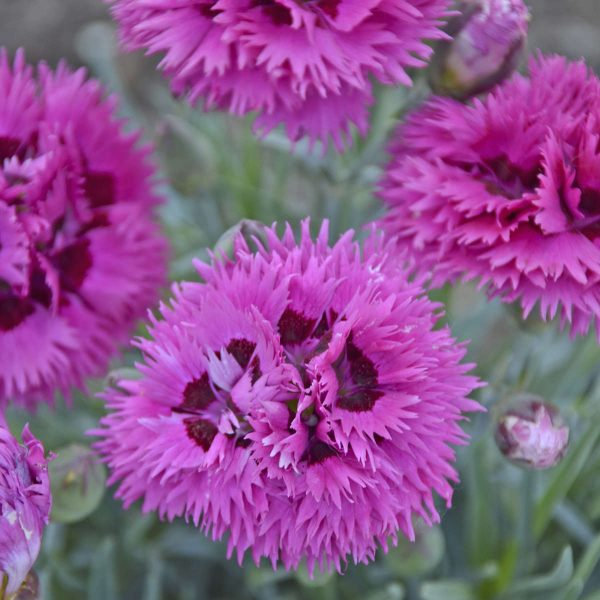 DIANTHUS FRUIT PUNCH SPIKED PUNCH PINKS