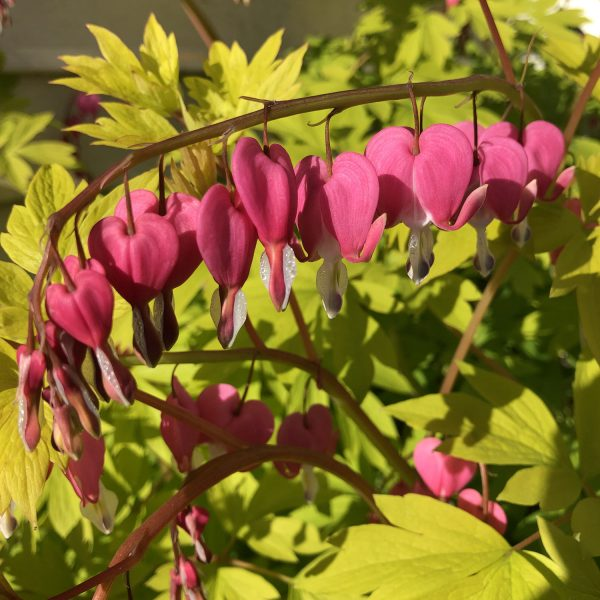 DICENTRA GOLD HEART BLEEDING HEART