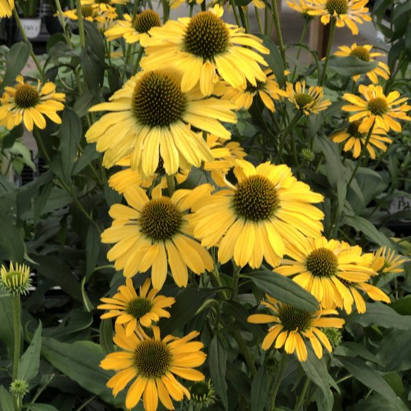 ECHINACEA COLOR CODED YELLOW MY DARLING CONEFLOWER