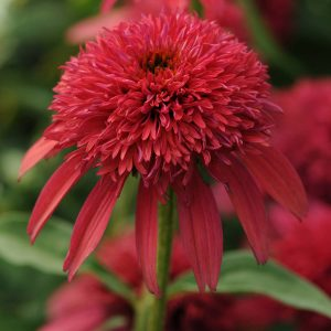 ECHINACEA DOUBLE SCOOP CRANBERRY CONEFLOWER