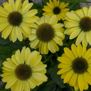 ECHINACEA EYE CATCHER CANARY FEATHERS CONEFLOWER