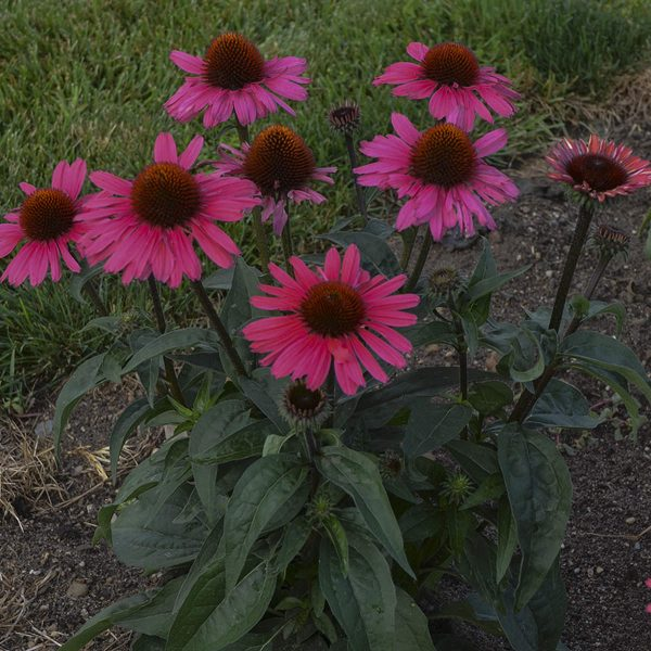 ECHINACEA EYE CATCHER CORAL CRAZE CONEFLOWER
