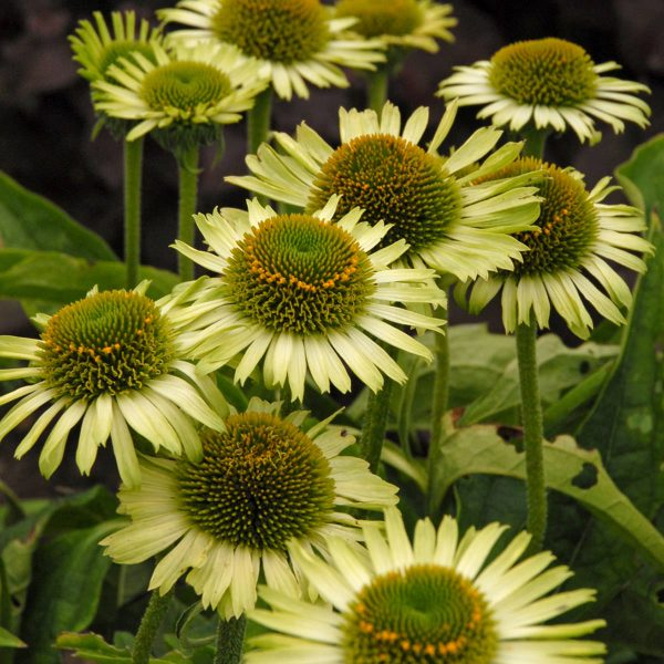 ECHINACEA GREEN JEWEL CONEFLOWER