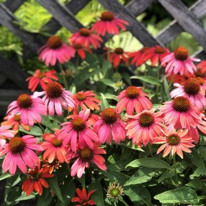 ECHINACEA LAKOTA FIRE CONEFLOWER