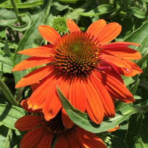 ECHINACEA SOMBRERO ADOBE ORANGE CONEFLOWER