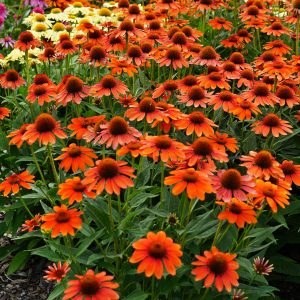 ECHINACEA SOMBRERO FLAMENCO ORANGE CONEFLOWER