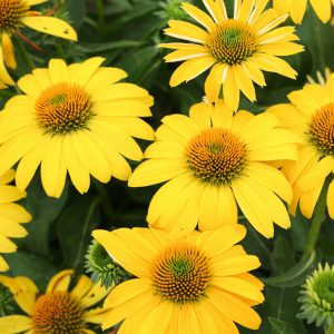ECHINACEA SOMBRERO LEMON YELLOW CONEFLOWER