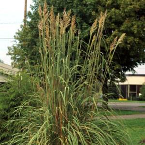 Erianthus Ravennae Grass