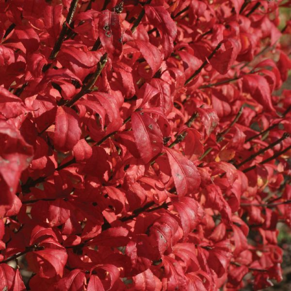 EUONYMUS FIRE BALL BURNING BUSH