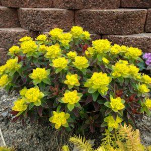 Euphorbia - Spurge