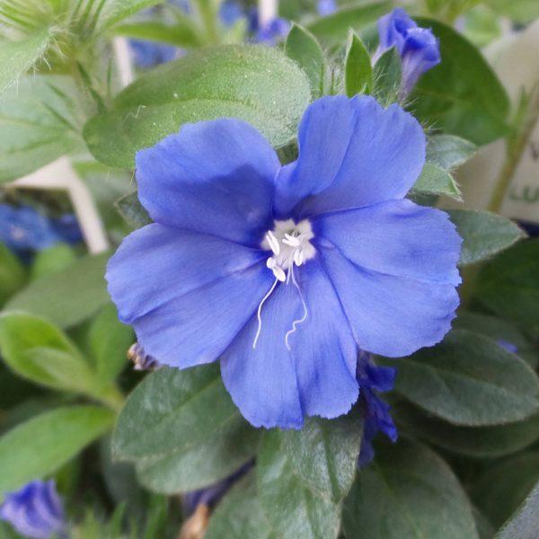 EVOLVULUS BLUE MY MIND DWARF MORNING GLORY