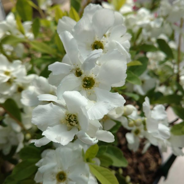 EXOCHORDA SNOW DAY SUPRISE PEARL BUSH
