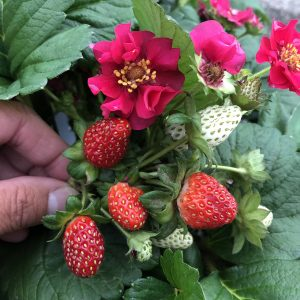 FRAGARIA BERRIED TREASURE RED EVERBEARING STRAWBERRY