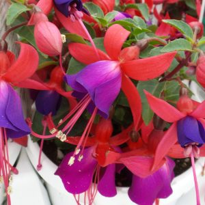 FUCHSIA SHADOW DANCER MARCIA FUCHSIA