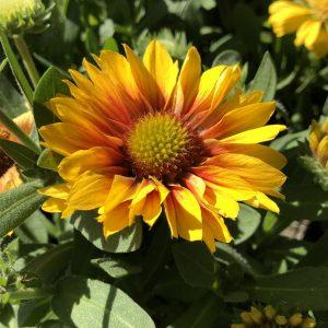 GAILLARDIA ARIZONA APRICOT BLANKET FLOWER