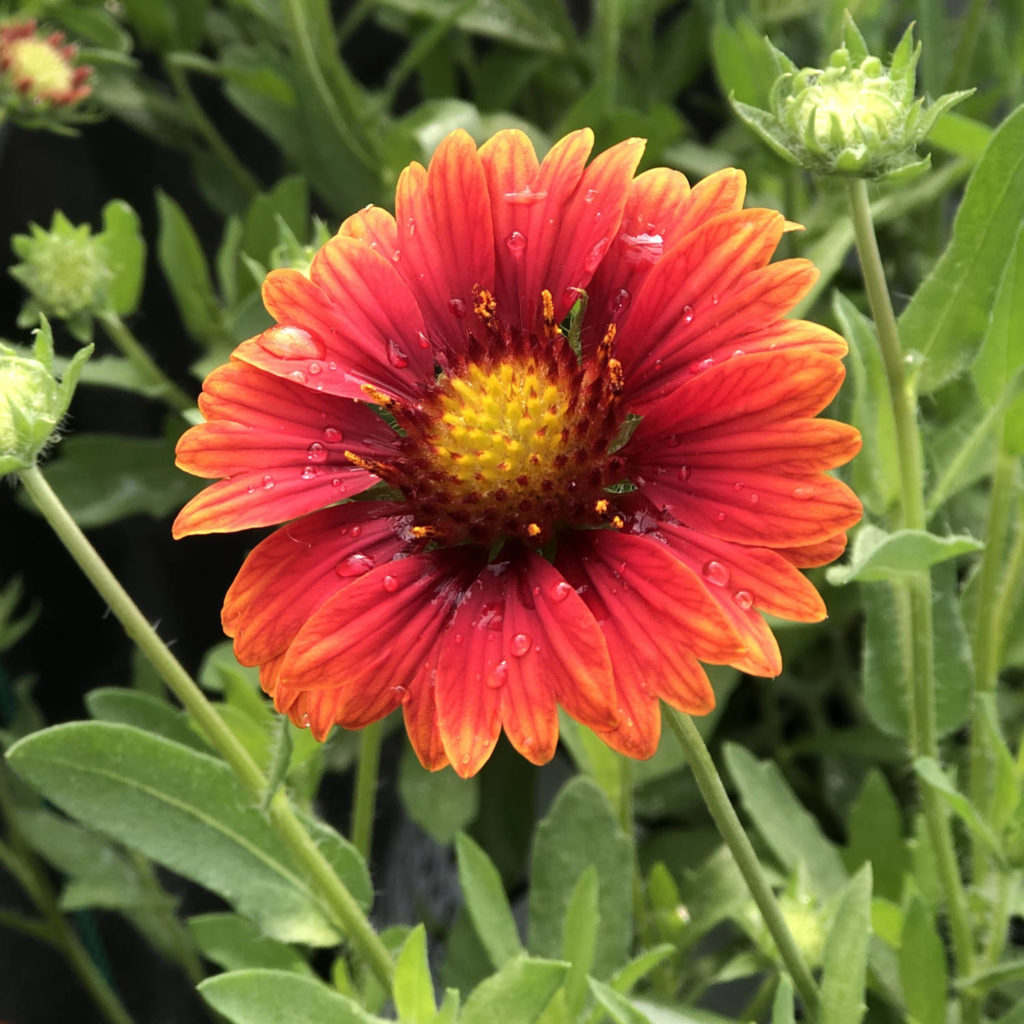 GAILLARDIA HEAT IT UP SCARLET BLANKET FLOWER