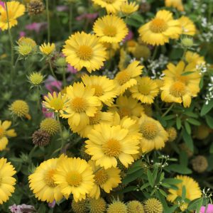 GAILLARDIA HEAT IT UP YELLOW BLANKET FLOWER