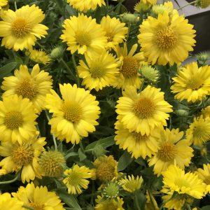 Gaillardia - Blanket Flower