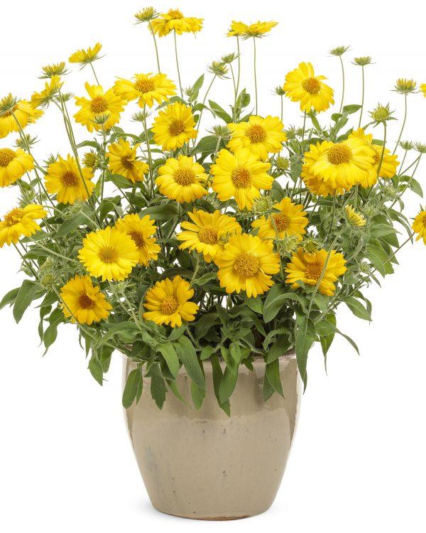 GAILLARDIA HEAT IT UP YELLOW BLANKET FLOWER