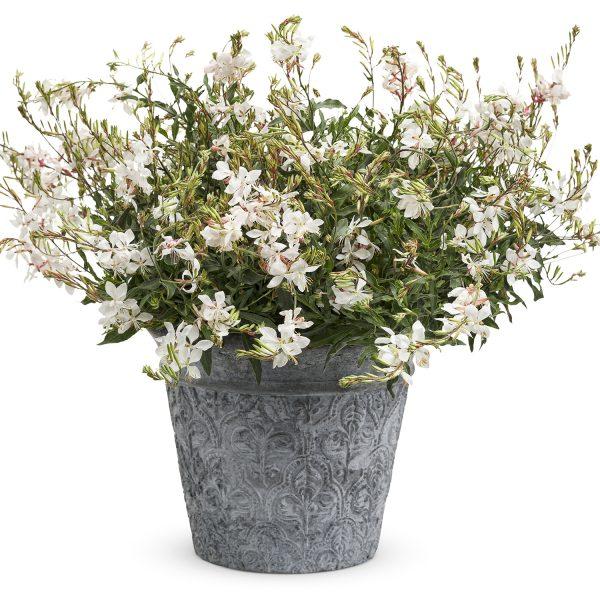GAURA STRATOSPHERE WHITE BUTTERFLY FLOWER
