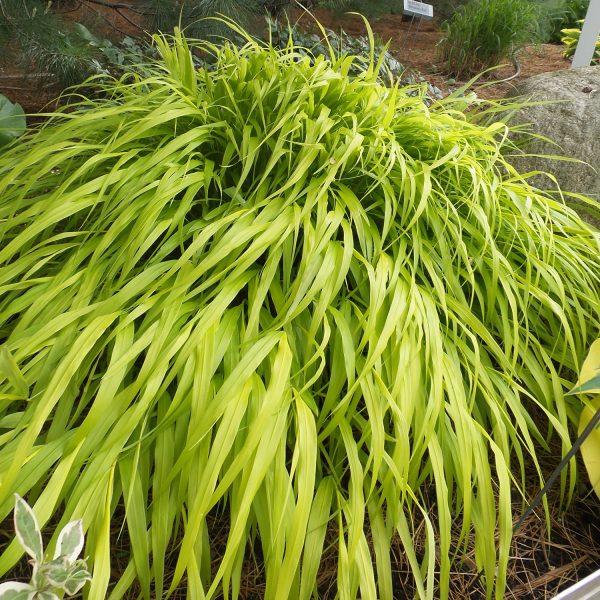 HAKONECHLOA ALL GOLD HAKONE GRASS