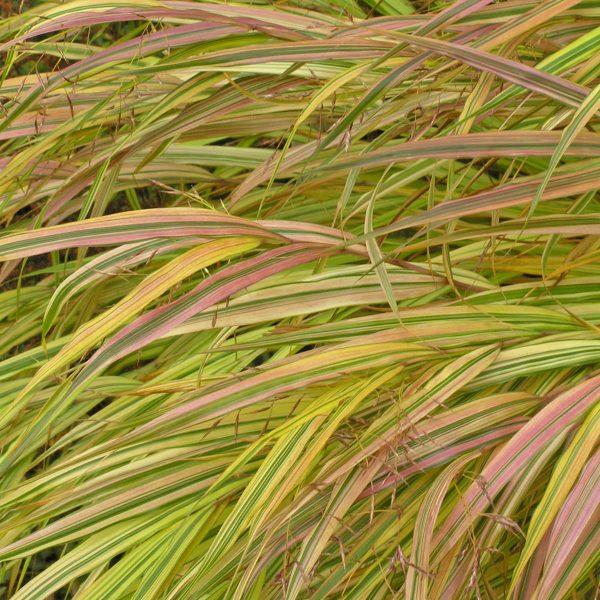 HAKONECHLOA AUREOLA HAKONE GRASS