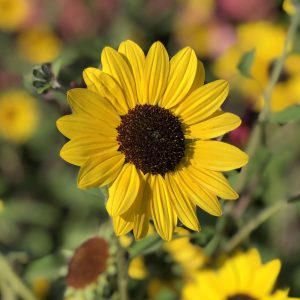 Helianthus - Sunflower