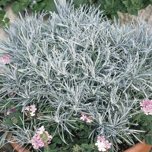 HELICHRYSUM ICICLES LICORICE PLANT