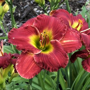 HEMEROCALLIS HAPPY EVER APPSTER RED HOT RETURNS DAYLILY