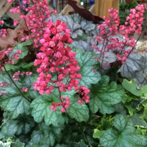 HEUCHERA PARIS CORAL BELLS