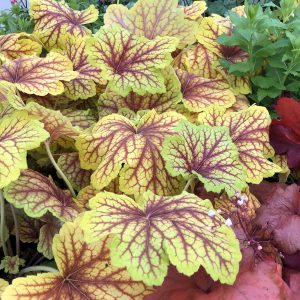 HEUCHERA RED LIGHTNING CORAL BELLS