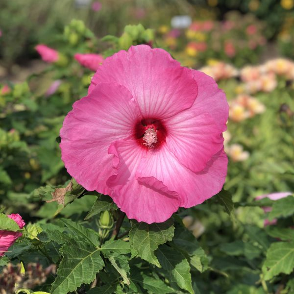 HIBISCUS AIRBRUSH EFFECT ROSE MALLOW