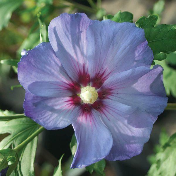 HIBISCUS AZURRI BLUE SATIN ROSE OF SHARON