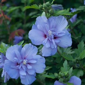 HIBISCUS BLUE CHIFFON ROSE OR SHARON