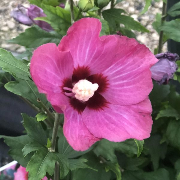 HIBISCUS LIL KIM RED ROSE OF SHARON