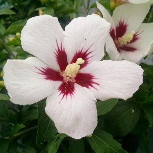 HIBISCUS LIL KIM ROSE OF SHARON