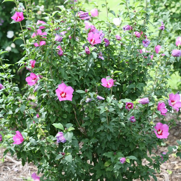 HIBISCUS LIL KIM VIOLET ROSE OF SHARON