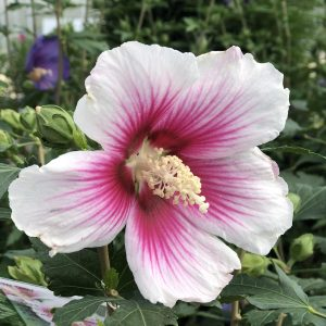 HIBISCUS PARAPLU PINK INK ROSE OF SHARON