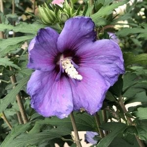 HIBISCUS PARAPLU VIOLET ROSE OF SHARON