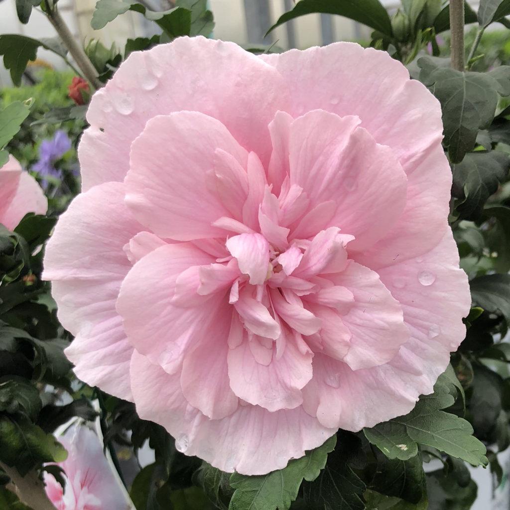 HIBISCUS PINK CHIFFON ROSE OF SHARON