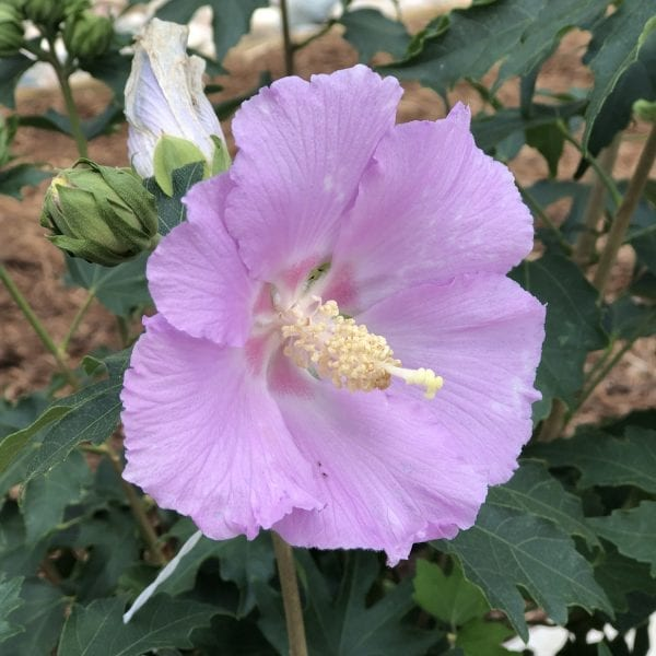 HIBISCUS POLLYPETITE ROSE OF SHARON