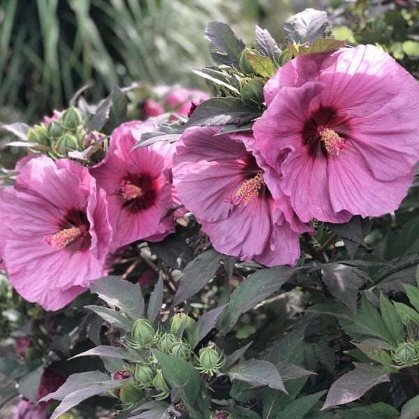 HIBISCUS SUMMERIFIC BERRY AWESOME ROSE MALLOW