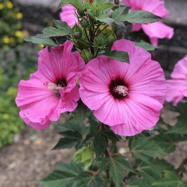 HIBISCUS SUMMERIFIC CANDY CRUSH ROSE MALLOW
