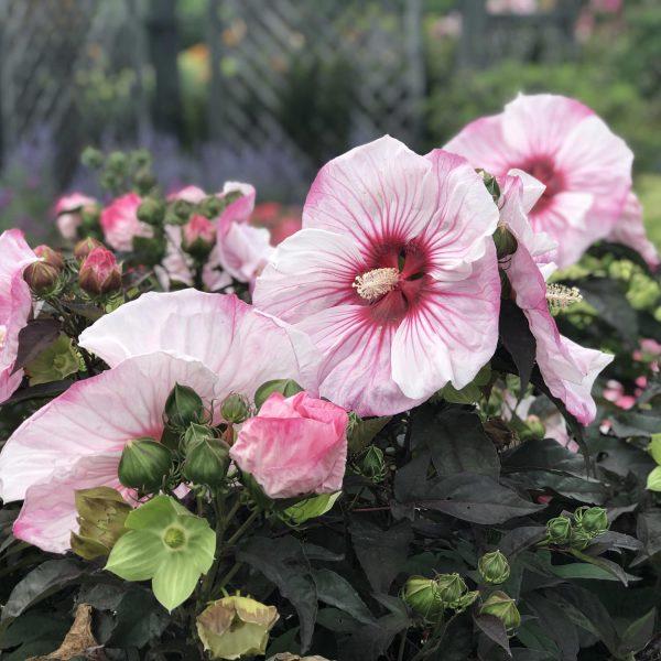 HIBISCUS SUMMERIFIC CHERRY CHOCO LATTE ROSE MALLOW