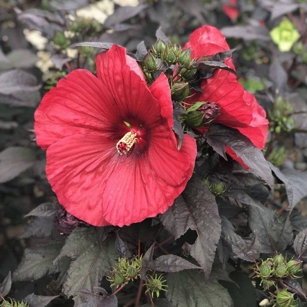 HIBISCUS SUMMERIFIC HOLY GRAIL ROSE MALLOW