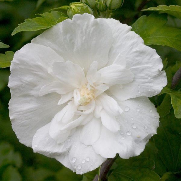 HIBISCUS WHITE CHIFFON ROSE OF SHARON